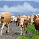 De azi, se plătesc subvenţiile la bovine