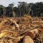 Pădurile jefuite de 800 de brazi