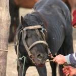 15.000 de cai trebuie vaccinaţi împotriva antraxului