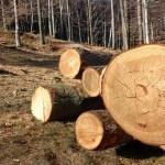 Începe actul II în procesul mafiei lemnului din Grinţieş