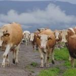 Plata subvenţiilor la bovine, probabil la sfârşitul lunii martie