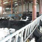 Subvenţii pentru bovine