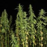 Cultivatorii de cannabis trimişi în judecată