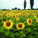 A început recoltatul la floarea soarelui şi sfeclă
