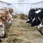 O veste bună pentru crescătorii de animale:  O singură cerere pentru toate tipurile de subvenţii!