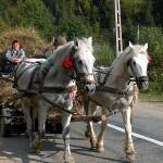 Caii din județ circulă numai cu pașaport