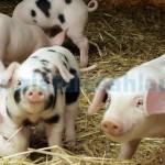 Bani pentru crescătorii de animale