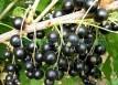 Tina-Coacãz negru (1)