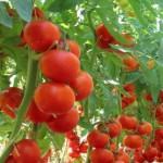 Sfaturi pentru grădină:  Trucuri pentru a avea legume gustoase și flori frumoase