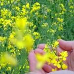 Activități de sezon: fertilizarea rapiței