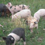 Idei de afaceri: porci pentru îngrășat