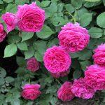 Activități de sezon: pregătirea trandafirilor pentru iarnă