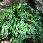 Farmacia din pădure: limba cerbului