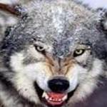 Codrii Neamtului bintuiti de lupi