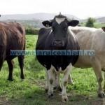 Tina-Avans subvenţii bovine