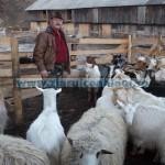 Tina-Bani pentru oi şi capre