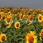 Tina Floarea soarelui