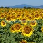 Tina-Trei Sate, floarea-soarelui-ss