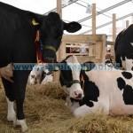 Tina-Ameliorare, foto Vaci bălţate