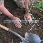 muncitori-plantare-puieti-in-g~121953_0