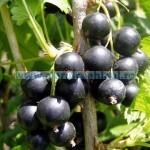 Tina-Roºii negre, foto