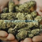marijuana-nootropic