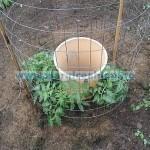 Tina-Tomate, în buchet
