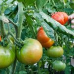 Tina-Fertilizare roșii