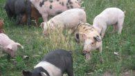 Tina-Porci la îngrășat