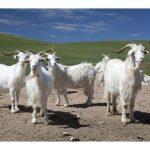 tina-capre-casmir